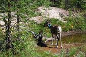 молодой олень летние лесные озера — Стоковое фото