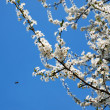 Tree in full bloom against blue sky — Stock Photo