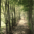 Stock Photo: Shady path lined with young trees