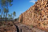 Enorme pilha de madeira no fundo da floresta fina — Foto Stock
