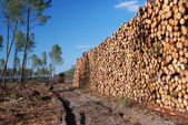 Enormous wood stack in the background of thin forest — Stock Photo