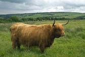Highland koeien in een veld — Stockfoto