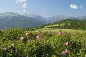 Rose fields — Stock Photo