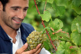 Grape grower admiring his grapes — Stock Photo