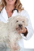 Veterinarian with Dog — Stock Photo