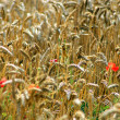 Stock Photo: Red flowers growing in hay field