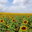 Field of sunflowers — Stock Photo #11360204