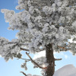 Snow covered tree on a sunny day — Foto de Stock