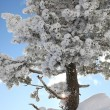 Snow covered tree on a sunny day — Stock Photo