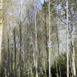 Young poplars — Stock Photo