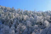 Snow covered tree tops — Stock Photo