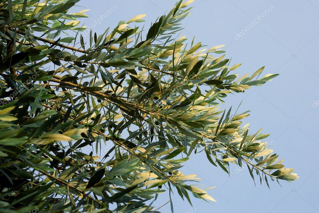 Branches of an olive tree — Stock Photo #11467568