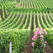Flowers at the end of a row of vines — Stock Photo