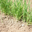 Stock Photo: Grass growing in arid land