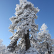 Snow covered trees — Stock Photo #11486010