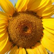 Stock Photo: Large sunflower