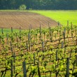 Spring vineyard - Stock Photo