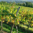Vineyard — Stock Photo #11486083