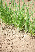 Grass growing in arid land — Stock Photo