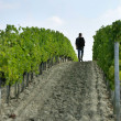 A man walking in the vines - Stock Photo