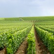 Rows of grapevines — Stock Photo #11668869