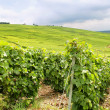 Fields of vines — Stock Photo