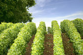 Vines in an uneven field — Stock Photo