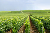 Rows of grapevines — Stock Photo