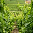 Stock Photo: Hillside vineyard