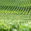 Rows of vines — Stock Photo #11672495