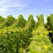 Neat rows of vines — Stock Photo #11674614