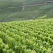 Rows of grapevines — Stock Photo #11675254