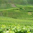 Vine fields - Stock Photo