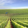 Stock Photo: Vast vineyard