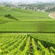 Stock Photo: French vineyard