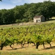 Stock Photo: Small vineyard