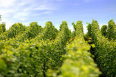 Neat rows of vines — Stock Photo