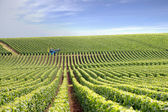 Vast vineyard — Stock Photo