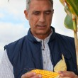 Stock Photo: Farmer looking at cob of sweetcorn