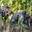 Grapes on a vine - 图库照片