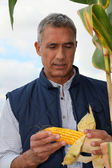 Farmer looking at a cob of sweetcorn — Stock Photo