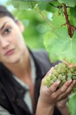 A woman picking a grape — Stock Photo