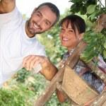 Couple picking fruit — Stock Photo #11750141