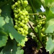 Unripe grapes on vine — Stock Photo #11798917