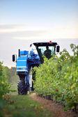 Harvesting grapes — Stock Photo