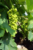 Unripe grapes on the vine — Stock Photo