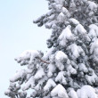 Snow on a fir tree — 图库照片