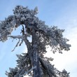 Stock Photo: Snow covered tree