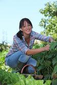 Woman picking strawberries — Stock Photo