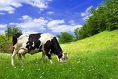 Cow on beautiful meadow — Stock Photo